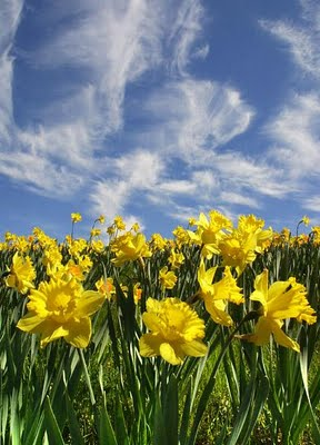 daffodils-wordsworth